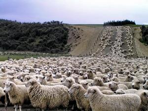 Counting Sheep! Get it?